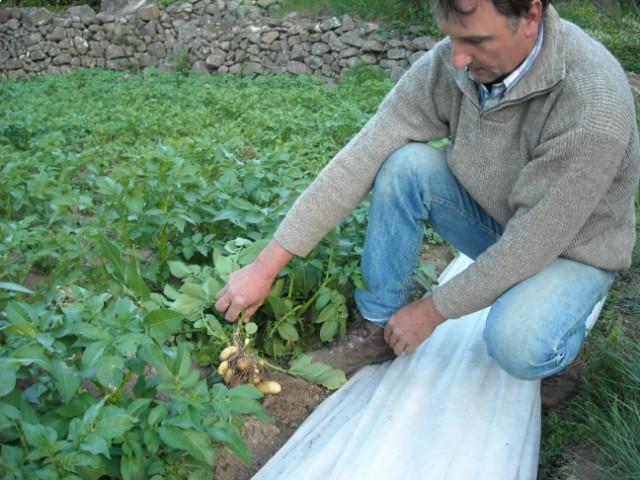 Amination24052008 - La pomme de terre est elle un legume ...